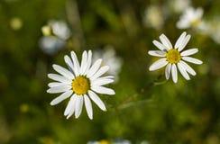 与一个bokeh作用的两朵雏菊在背景中 免版税库存图片