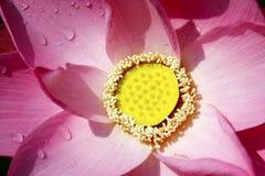 与一些下落的桃红色莲花 库存图片