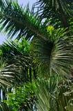 与一些天空的绿色棕榈叶状体 图库摄影