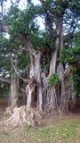 与一些的伟大的榕树碰撞了区域超过100岁 免版税库存图片