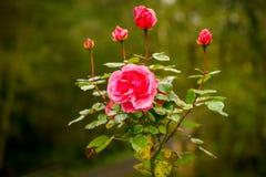 与一些露滴的一朵红色玫瑰,威尔士,英国 免版税库存图片