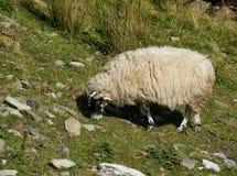 与一件厚实的外套的绵羊吃在山的草 库存照片
