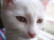与一件美丽的外套的白色可爱宝贝小猫蓬松 库存图片