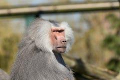与一件蓬松灰色外套的严肃的看起来的成人狒狒 库存照片