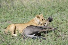 与一匹正义被捉住的角马的狮子 免版税库存照片