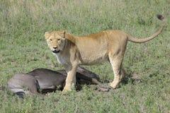 与一匹正义被捉住的角马的狮子 免版税库存图片