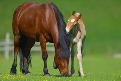 与一匹母马的驹在夏天 免版税库存照片