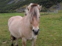 与一匹马的关闭在Geiranger,挪威 免版税库存照片