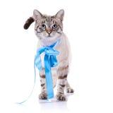 与一卷蓝色磁带的镶边猫 免版税库存照片