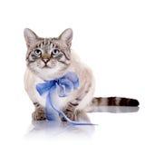 与一卷蓝色磁带的镶边猫 图库摄影