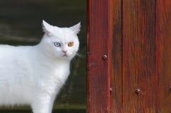 与一双棕色和一双蓝眼睛的美丽的白色猫 图库摄影