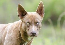 与一双蓝眼睛的法老王猎犬多壳的混合狗 库存照片