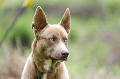 与一双蓝眼睛的法老王猎犬多壳的混合狗 库存图片