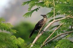 与一双蓝眼睛的鸟在一个分支在森林里, 免版税库存图片