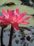 与一只嗡嗡叫的蜂的桃红色莲花 免版税库存图片