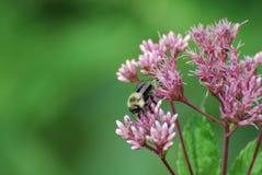 与一只土蜂的桃红色花在Seedum 免版税库存图片