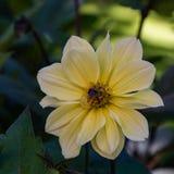 与一只土蜂的黄色大丽花在中心 免版税图库摄影