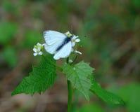 与一只夏天背景蝴蝶的宏观照片与白色颜色翼  库存图片
