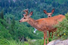 与一只好奇小鹿的一头母鹿在冰川国家公园 库存照片