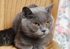 与一只小小猫的严肃的成人英国猫 库存照片