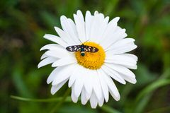 与一只小昆虫的雏菊 免版税库存图片