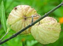 与一只小的甲虫的两浅绿色的热带狂放的果子 免版税库存照片