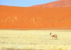 与一只小的羊羔的跳羚在沙丘前面 图库摄影