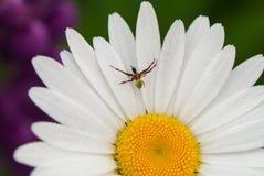与一只小的蜘蛛的雏菊 库存图片