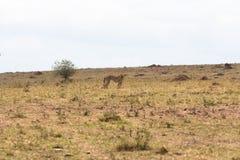 与一只小飞羚的猎豹 猫总是猫 肯尼亚mara马塞语 图库摄影