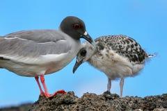 与一只小鸡的燕尾状鸥在Genovesa海岛,加拉帕戈斯N上 免版税库存照片