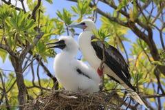 与一只小鸡的红有脚的笨蛋鸟在巢 免版税库存图片