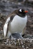 与一只小鸡的Gentoo企鹅在南极洲 免版税库存照片