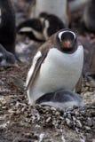 与一只小鸡的Gentoo企鹅在南极洲 免版税图库摄影