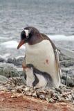 与一只小鸡的Gentoo企鹅在南极洲 库存照片