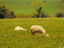 与一只幼小羊羔的一只绵羊在草甸 免版税库存照片