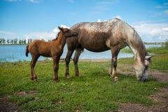 与一只幼小驹的一匹灰色马在池塘附近轻轻地吃草在村庄附近 免版税库存图片