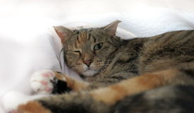 与一只开放眼睛的Surprised说谎的猫 免版税库存图片