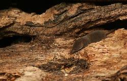 与一只微小的甲虫的一搜寻矮小泼妇机灵动物类minutus由它的鼻子 免版税库存图片