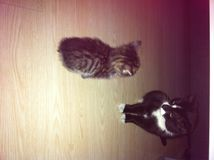 与一只成人猫的一只小的猫 库存图片