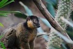 与一只抓住衣领口的狐猴的关闭与一张甜面孔 库存图片
