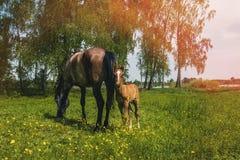 与一只新出生的驹的一匹马在晴朗的天气的一个草甸吃草 定调子 免版税库存图片