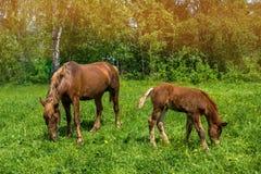 与一只新出生的驹的一匹马在晴朗的天气的一个草甸吃草 免版税图库摄影
