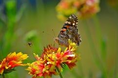 与一只昆虫的一只蝴蝶在一个庭院里在阿加尔塔拉,特里普拉邦,印度 库存照片