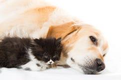 与一只波斯猫的金毛猎犬 免版税库存图片