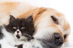 与一只波斯猫的金毛猎犬 免版税图库摄影