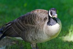 与一只滑稽的加拿大鹅的明信片在领域 库存图片