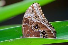 与一只猫头鹰` s眼睛的蝴蝶在翼 库存图片