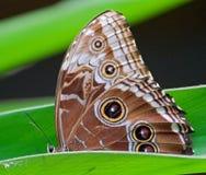 与一只猫头鹰` s眼睛的蝴蝶在翼 免版税库存照片