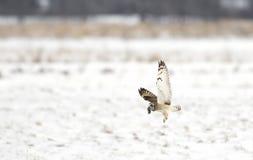 与一只田鼠的一短耳朵的猫头鹰澳大利亚安全情报组织flammeus在一个积雪的领域在加拿大 免版税库存照片