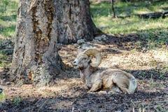 与一只疯狂的大角野绵羊的遭遇 库存照片